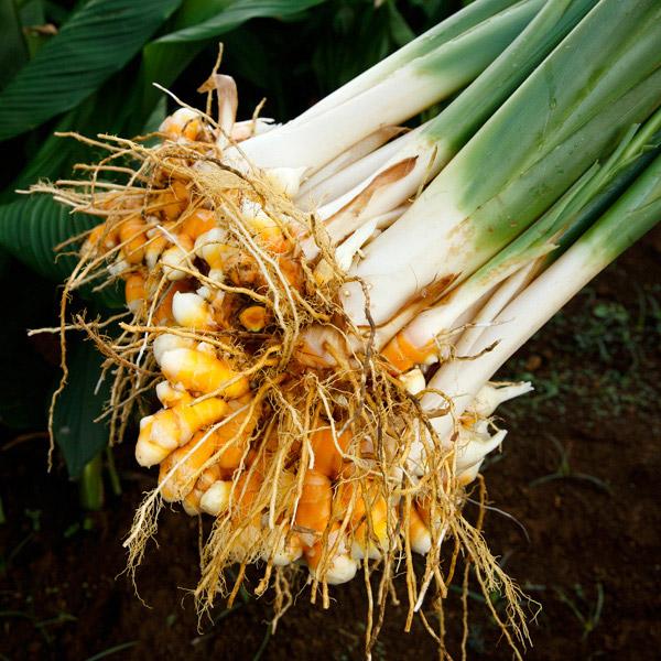 Turmeric | Kauai Organic Farms